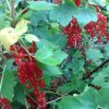 Home Grown Redcurrants - grown in our own little garden!